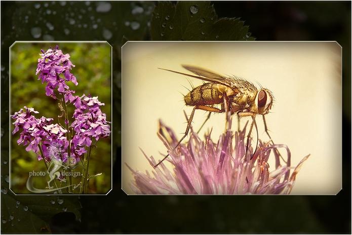 Nachtviole und Monsterinsekt auf Wiesenflockenblume